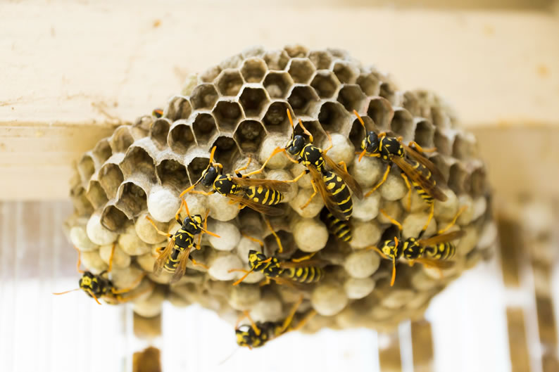 Wasp Control Marple - Wasp nest treatment 24/7, same day service, covering Marple, Stockport and cheshire, fixed price no hidden extras!